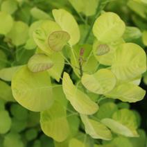 Cotinus coggygria 'Golden Spirit' ® (C. c. 'Ancot')