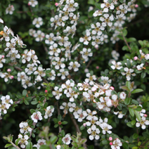 Cotoneaster x suecicus 'Coral Beauty' (C. dammeri 'Coral Beauty')