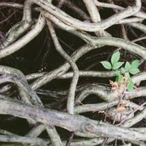 Cotoneaster x suecicus 'Skogholm' (C. dammeri 'Skogholm')