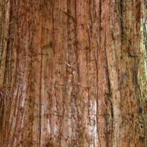 Cryptomeria japonica 'Lobbii'