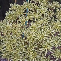 Daphne × burkwoodii 'Briggs Moonlight'