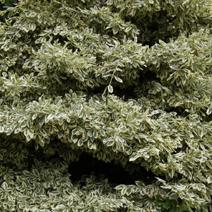 Euonymus japonicus 'Albomarginatus'