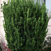 Euonymus japonicus 'Green Spire'