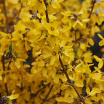 Forsythia x intermedia 'Goldzauber'