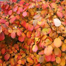 Zdj. nr 18;Jesienna barwa liści.