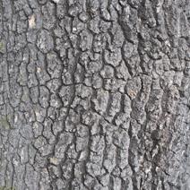 Fraxinus holotricha
