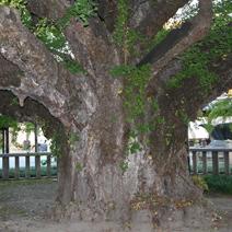 Zdj. nr 5;Ginkgo biloba - wiek ok. 3 tys. lat. Rozpiętość korony ok. 30 m średnicy.
