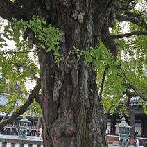 Wyrastające Czi - Czi na pniu drzewa.