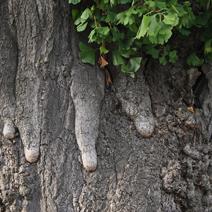 Zdj. nr 14;Ginkgo biloba - wiek ponad 2000 lat. Liczne Czi - Czi.