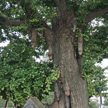 Bardzo stare drzewo. Liczne Czi -Czi.