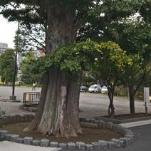 Zdj. nr 17;Bardzo stare drzewo. Z boku widoczne ukorzenione, ok. 4,5 m długości Czi - Czi.