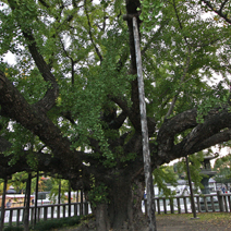 Ginkgo biloba - wiek ok. 3000 lat. Rozpiętość korony ok. 30 m średnicy.