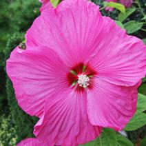 Hibiscus 'Berrylicious'