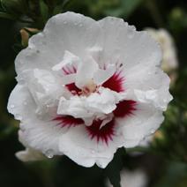 Hibiscus syriacus 'Monstrosus'