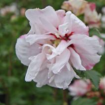 Hibiscus syriacus 'Leopoldii'