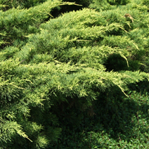 Juniperus x pfitzeriana 'Old Gold' (J. media 'Old Gold')