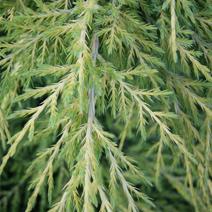 Juniperus x pfitzeriana 'Saybrook Gold' (J. media 'Saybrook Gold')