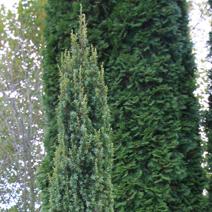 Juniperus communis 'Suecica Nana'