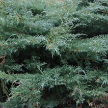 Juniperus virginiana 'Hetz' (J. media 'Hetzii')