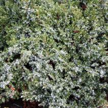 Juniperus communis 'Sterling Silver'