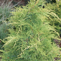 Juniperus x pfitzeriana 'King of Spring' (J. media 'King of Spring')