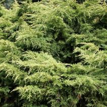 Juniperus x pfitzeriana 'Dierks Goldpfitzer' (J. media 'Dierks Goldpfitzer')