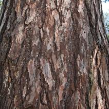 Zdj. nr 2;Kora bardzo starego drzewa.