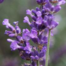 Lavandula angustifolia 'Royal Purple'