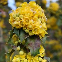 Mahonia trifolia