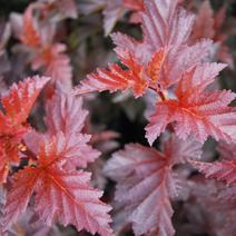 Physocarpus opulifolius 'Andre'