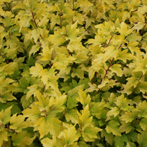 Physocarpus opulifolius 'Angel Gold' (Ph. op. 'Minange') ® PBR