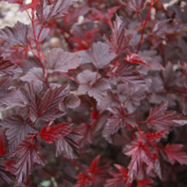 Physocarpus opulifolius 'Lady in Red' (Ph. op. 'Tuilad')