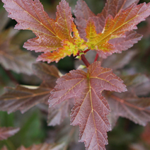 Physocarpus opulifolius 'Diable d'Or' ® PBR (Ph. op. 'Mindia')