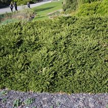 Picea abies 'Pumila Nigra'
