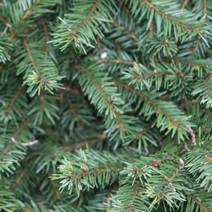 Picea abies 'Pumila Glauca'