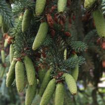 Picea glauca 'Špaček'
