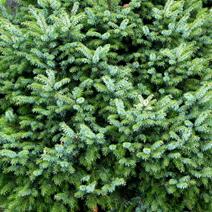 Picea omorika 'Frohnleiten'