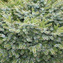 Picea omorika 'Minima' (P. o. 'Minimax')