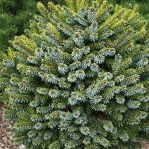 Picea omorika 'Peve Tijn' (P. o. 'Tijn')