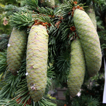 Picea pungens 'Lucky Strike'