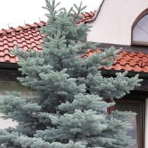Picea pungens 'Thuem' (P. p. 'Glauca Compacta')
