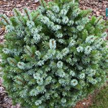 Picea sitchensis 'Peve Wiesje'