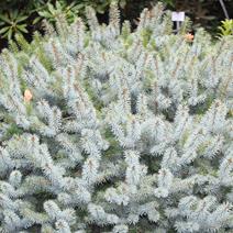 Picea sitchensis 'Tenas' (P. sitchensis 'Midget')