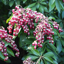 Pieris japonica 'Valley Vallentine'
