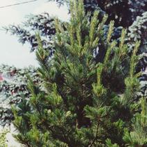Pinus sibirica (P.cembra var. sibirica)
