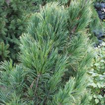 Pinus cembra 'Stricta'