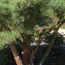 Pinus densiflora 'Pumila'