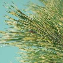 Pinus densiflora 'Oculus-draconis'