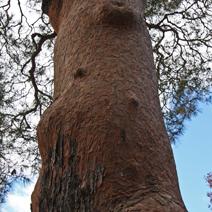 Pień starego drzewa