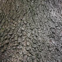 Pinus heldreichii (P. leucodermis)